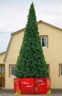 Сосна ствольная GREEN TREES Альпийская 4м (хвоя-леска)  ИЕ4020